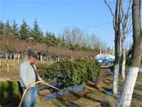 春天苗木栽种死亡原因有哪些?