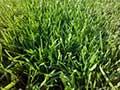 小�^草坪