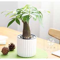 发财树自动吸水盆栽